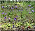 NJ4747 : Common Butterwort (Pinguicula vulgaris) by Anne Burgess
