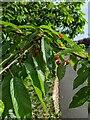 TF0820 : Look like cherries by Bob Harvey