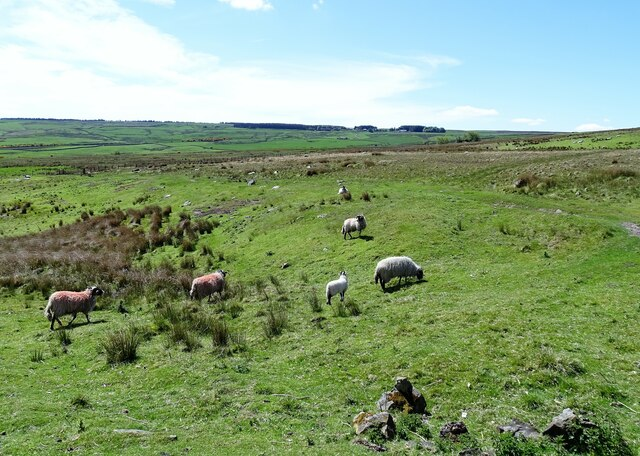 Sheep beside the Waskerley road