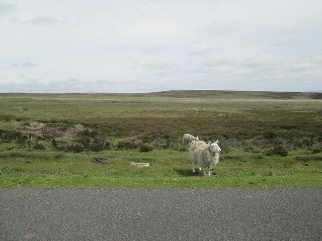 Ewe  and  lamb  at  roadside  Spaunton  Moor