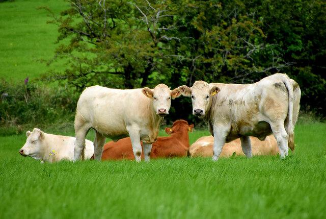 Cattle, Aghafad