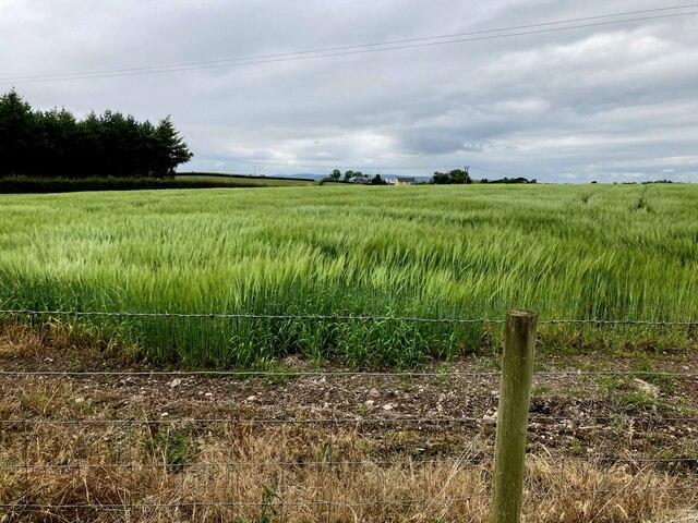 Barley field, Drumconnelly