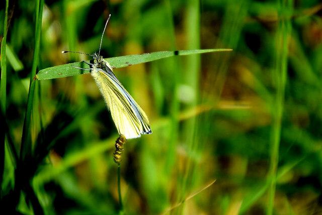 Green veined butterfly on a long stem, Tirquin