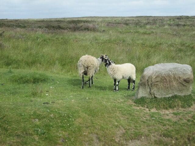 Ewe  and  lamb  beside  large  rock  Spaunton  Road