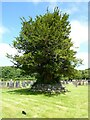 SN7465 : Yew tree at Strata Florida by Philip Halling