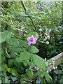 TF0820 : Purple bramble flower by Bob Harvey