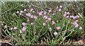 NH9961 : Cross-leaved Heath (Erica tetralix) by Anne Burgess