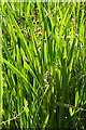 NH9960 : Branched Bur-reed (Sparganium erectum) by Anne Burgess