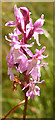 NJ2752 : Spotted Orchid by Anne Burgess