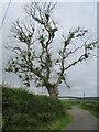 NT7470 : Ash Dieback near Oldhamstocks by M J Richardson