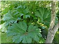 SS9944 : Gunnera by the river Avill by Stephen Craven