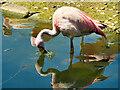 SO7204 : James's Flamingo by David Dixon