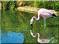 SO7204 : Flamingo Reflection by David Dixon