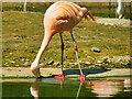 SO7104 : Chilean Flamingo (Phoenicopterus chilensis) at Slimbridge by David Dixon