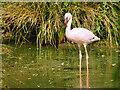 SO7104 : Lesser Flamingo by David Dixon