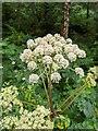 TF0820 : Flowerhead on the Angelica by Bob Harvey
