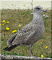 NJ2270 : Juvenile Herring Gull (Larus argentatus) by Anne Burgess