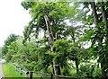 NZ1345 : Lopped roadside trees beside the B6296 by Robert Graham
