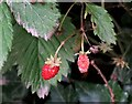 TQ7819 : Strawberries on verge of Churchland Lane by Patrick Roper