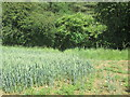 SE6787 : Footpath  out  of  Hagg  Wood  into  Wheat  field by Martin Dawes
