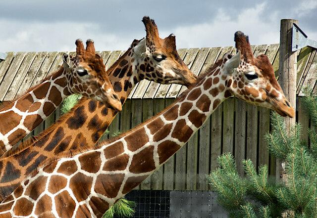 Giraffes, Yorkshire Wildlife Park
