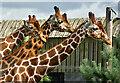 SE6300 : Giraffes, Yorkshire Wildlife Park by Paul Harrop