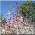 NS5574 : Rosebay willowherb by Richard Sutcliffe