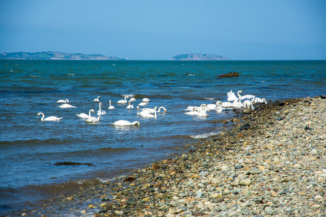 Swans in the sea, Aber Ogwen