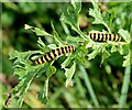 TL3861 : Cinnabar moth caterpillars, Edwards Woodland by Martin Tester