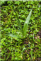 SO3729 : Meadow Saffron (Colchicum autumnale) by Ian Capper