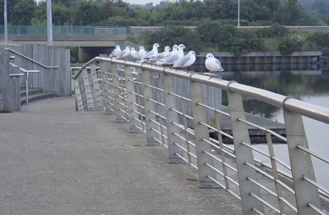 Gulls in a row at Castle Park