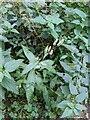 TF0720 : Persicaria maculosa by Bob Harvey