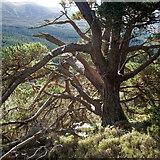 NH9910 : Old Scots Pine, Glen More by Julian Paren