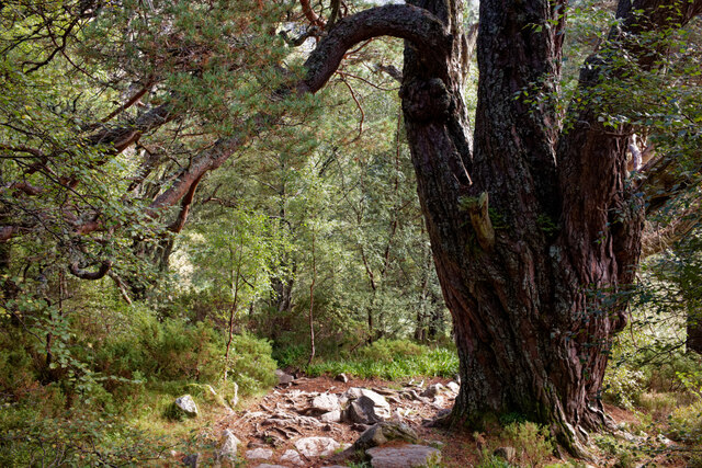 Scots Pine of some antiquity