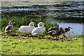 SE2336 : A Heron and Swans at Rodley Nature Reserve by David Goodall
