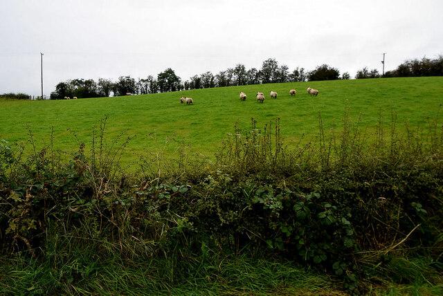 Sheep on a hill, Moylagh