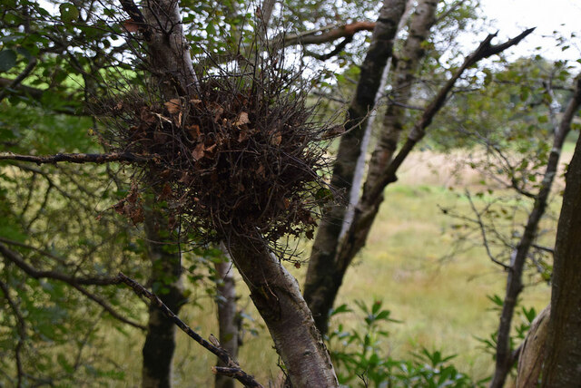 Witches broom, Moylagh