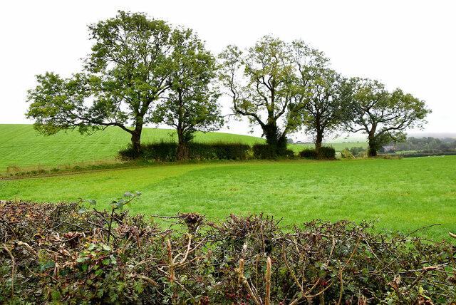 Trees along a hedge, Tonnagh Beg