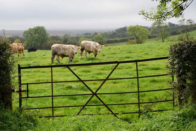 Cattle, Tireenan