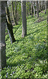 SC2270 : Woodland below Ballakilpheric by Andy Stephenson