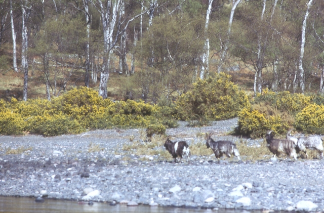 Wild Goats at Letterewe
