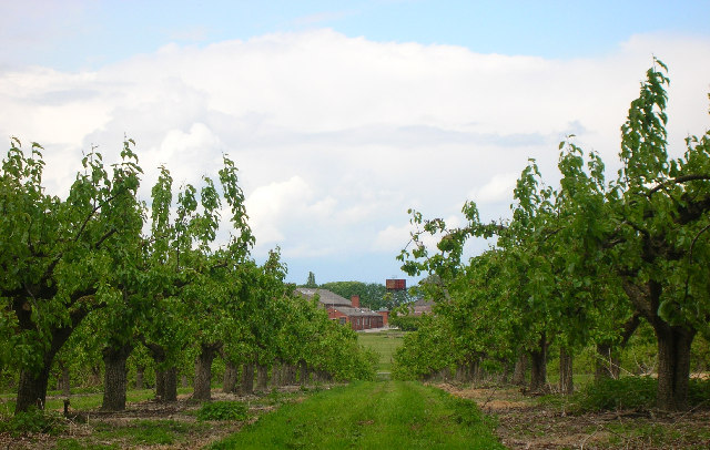 Commercial Orchards Milton Hill