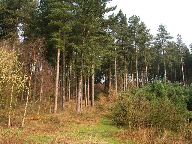Haywood Oaks, Pine Trees