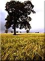 SK5857 : Field of Barley by Peter Kochut