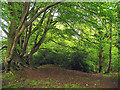 SU5269 : Ramsbury Wood on the edge of the fort by Pam Brophy
