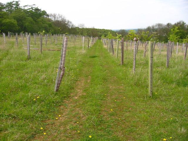 New saplings near Newfield Hill