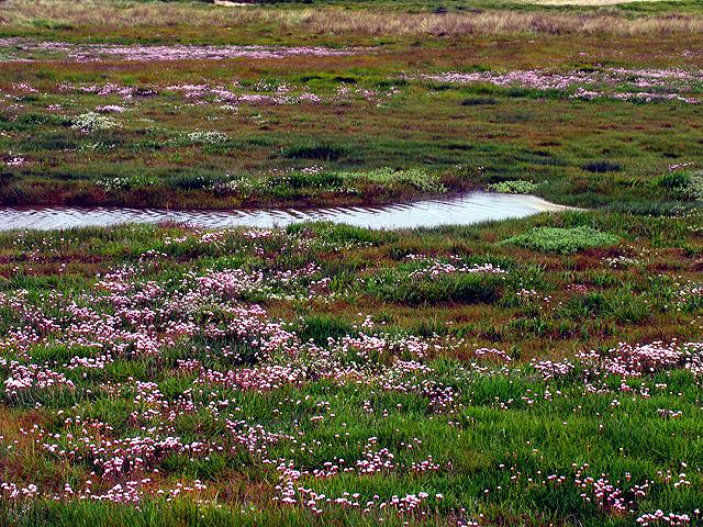 Bog Flora at Bannow