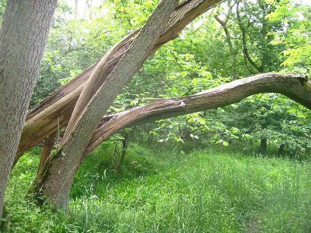 Fallen tree in woods near Wallington