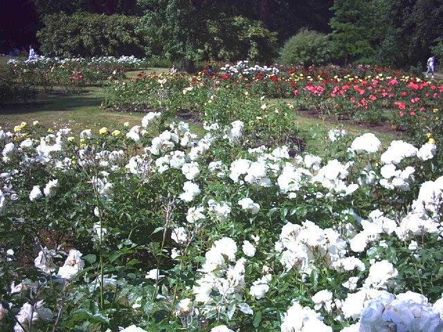 The Rose Garden, Morden Hall Park.