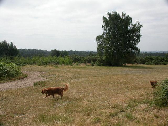 Ludshott  Common